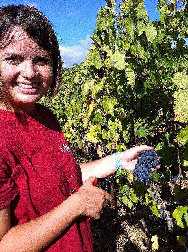 מריה מכפר-התקווה בוצרת ענבים בכרם של טוליפ